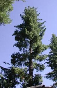 Giant Pine Tree 2